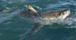 Gran carcharias del Carcharodon del tiburón blanco en agua del océano con la boca abierta imagen de archivo