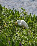 Gran caza blanca de la garceta en las plantas del Pickerelweed fotografía de archivo libre de regalías