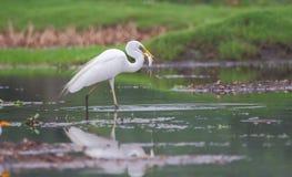 Gran caza del pájaro de la garceta de pescados imagen de archivo