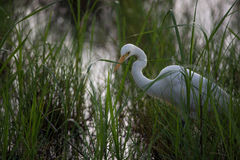 Gran cierre del Egret para arriba Fotografía de archivo libre de regalías