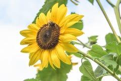 Gran cierre para arriba de una abeja asentada en el centro de un girasol amarillo Fotos de archivo