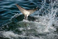 Gran cola del tiburón blanco imágenes de archivo libres de regalías