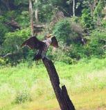 Gran cormorán - carbón del Phalacrocorax - con las alas separadas en el parque nacional de Periyar, Kerala, la India Imágenes de archivo libres de regalías