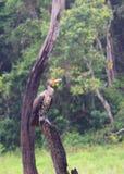 Gran cormorán - carbón del Phalacrocorax - que se sienta en la madera en el parque nacional de Periyar, Kerala, la India Foto de archivo libre de regalías