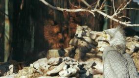 Gran cormorán gris en el fondo de piedras y de ramas metrajes