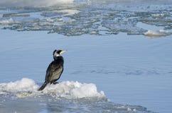 Gran cormorán/pelusa negra Foto de archivo libre de regalías