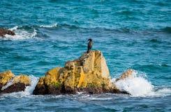Gran cormorán que se sienta en una roca en el mar, Blanes, España Fotos de archivo