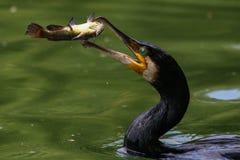 Gran cormorán trowing un pescado en el aire Pescados de cogida del gran cormorán fotos de archivo libres de regalías