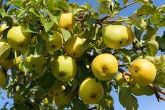 Gran cosecha de las peras amarillas maduras que cuelgan en una rama de árbol en el jardín imagenes de archivo
