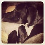 Gran Dane Puppy Face Imágenes de archivo libres de regalías