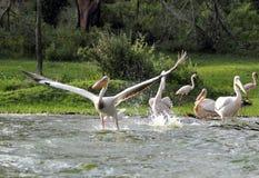 Gran despegue de los pelícanos del agua Imagen de archivo