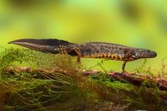 Gran dragón con cresta del newt o de agua Fotos de archivo