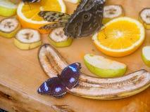 Gran Eggfly Hipolimnas Bolina Imágenes de archivo libres de regalías
