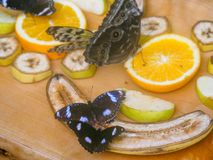 Gran Eggfly Hipolimnas Bolina Foto de archivo