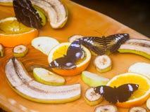 Gran Eggfly Hipolimnas Bolina Foto de archivo libre de regalías