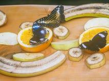 Gran Eggfly Hipolimnas Bolina Fotos de archivo