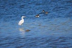 Gran Egret fotografía de archivo libre de regalías
