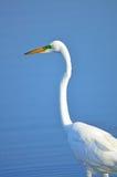 Gran Egret imagen de archivo
