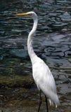 Gran Egret Foto de archivo libre de regalías
