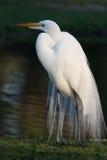 Gran Egret 2 imagen de archivo