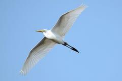 Gran Egret imagen de archivo libre de regalías