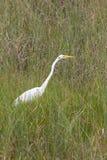 Gran Egret Fotos de archivo