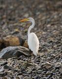 Gran Egret Imagenes de archivo