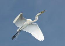 Gran Egret, Ardea alba Fotos de archivo libres de regalías