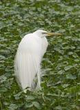 Gran Egret, Ardea alba Imagenes de archivo