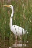 Gran Egret (Ardea Alba) Fotos de archivo