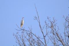 Gran Egret (Ardea alba) que se coloca en una ramificación Fotografía de archivo