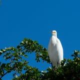 Gran egret blanco Fotos de archivo