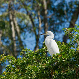 Gran egret blanco Fotos de archivo libres de regalías