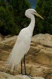 Gran Egret blanco Foto de archivo libre de regalías