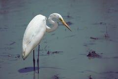 Gran Egret blanco Imagenes de archivo