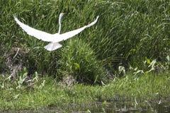 Gran Egret blanco Imagen de archivo