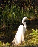 Gran egret blanco Fotografía de archivo libre de regalías