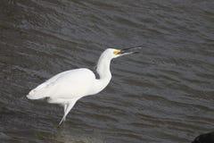 Gran Egret blanco Fotografía de archivo