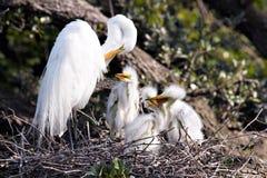 Gran Egret blanco con los polluelos Foto de archivo