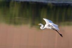 Gran Egret blanco en vuelo Fotos de archivo
