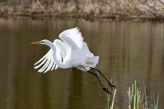 Gran Egret blanco en vuelo Imagenes de archivo