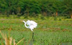 Gran egret blanco que vuela Imagen de archivo libre de regalías