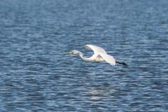 Gran egret con los pescados Imagen de archivo