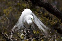 Gran Egret en frente de la cara del árbol Imagen de archivo libre de regalías