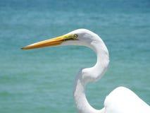 Gran Egret en la Florida Imágenes de archivo libres de regalías