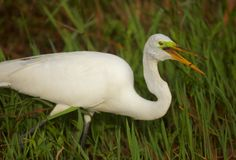 Gran Egret en los marismas Imagen de archivo
