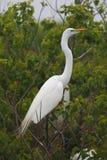 Gran Egret en plumaje de la cría Fotografía de archivo