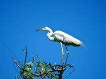 Gran Egret en un árbol Imagen de archivo