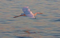 Gran Egret en vuelo Imagenes de archivo