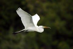 Gran Egret en vuelo Imagen de archivo libre de regalías